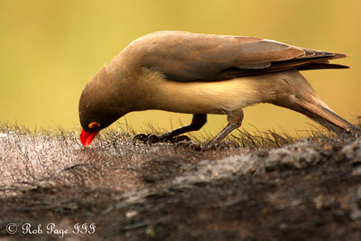 A red-billed ox pecker eating insects off a cape buffalo - Sabi Sabi, South Africa ... March 14, 2010 ... Photo by Rob Page III