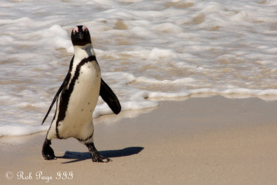 A penguin at Boulder Beach - Cape Town, South Africa ... March 12, 2010 ... Photo by Rob Page III