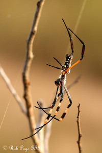 Golden orb weaver spider  - Sabi Sabi, South Africa ... March 15, 2010 ... Photo by Rob Page III