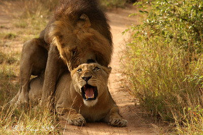 Lions mating - Sabi Sabi, South Africa ... March 15, 2010 ... Photo by Rob Page III
